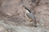 nuthatch_rock-western_12840a