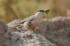 nuthatch_rock-western_13990a