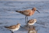 sanderpiper_curlew-sand_12743
