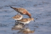 sanderpiper_curlew-sand_13519