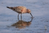 sanderpiper_curlew-sand_13522
