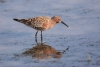 sanderpiper_curlew-sand_14280