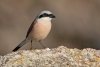 shrike_red-backed_15864