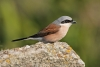 shrike_red-backed_15906