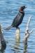 cormorant_pygmy_a4a2134