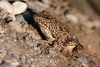 frog_levant-water_a4a2430