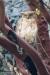 owl_western-brown-fish_67g0032