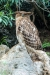 owl_western-brown-fish_a4a1318