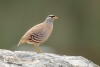 partridge_see-see_a4a2289