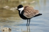 plover_spur-winged_a4a1546