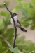 warbler_menetreis_a4a2334