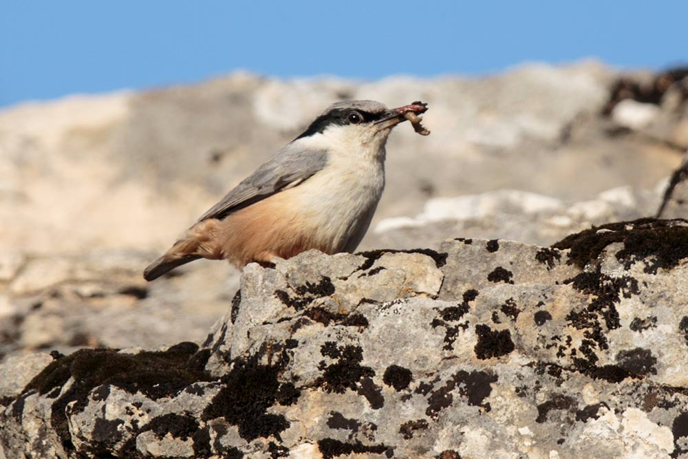 nuthatch_western-rock_a4a2027