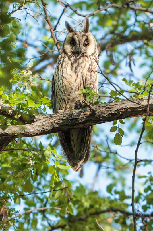 owl_long-eared_67g0914