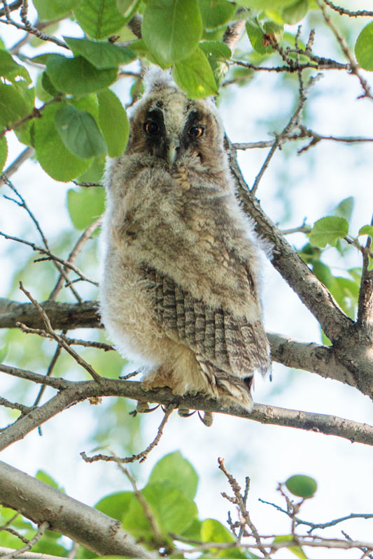 owl_long-eared_67g0920
