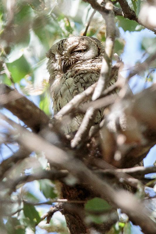 owl_pallid-scops_a4a2200