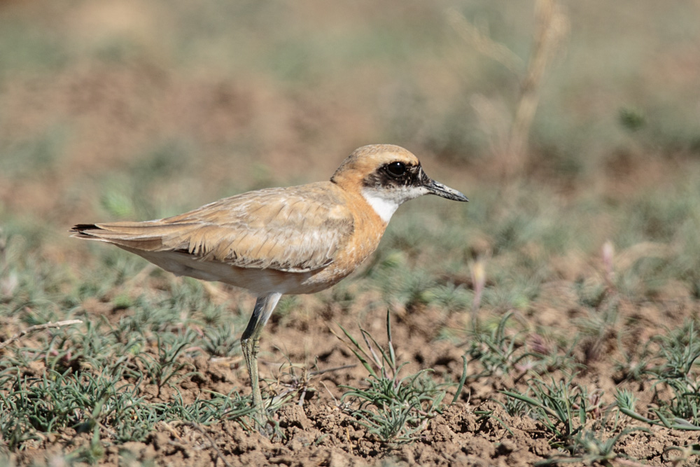 plover_greater-sand-crassirostris_a4a3074