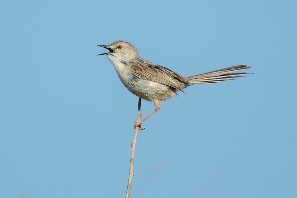 prinia_graceful_a4a2452