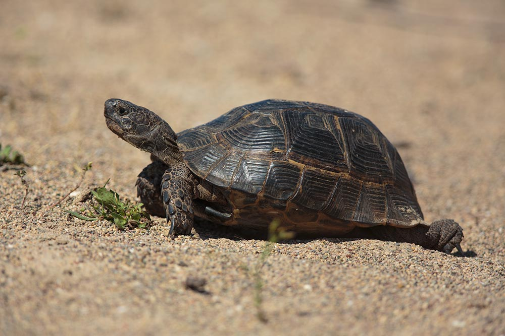 tortise_spur-thighed_a4a1511