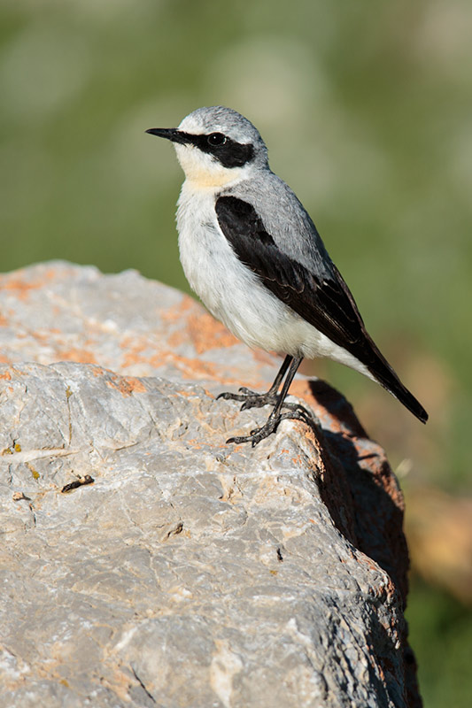 wheatear_northern_a4a3519