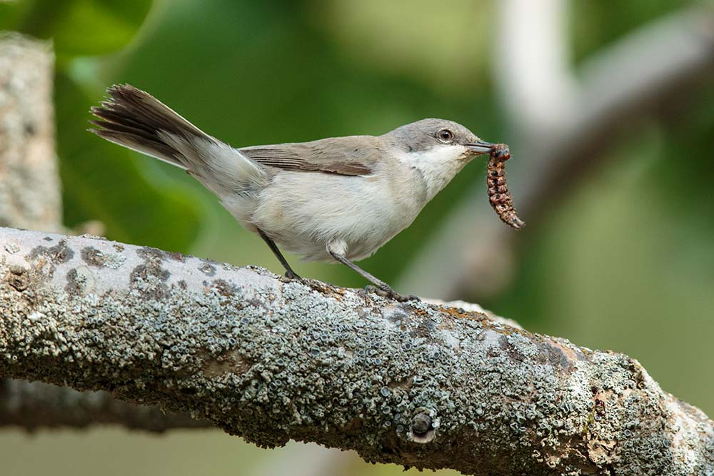 whitethroat_lesser_a4a2004