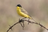 wagtail_black-headed_15005