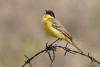 wagtail_black-headed_15011