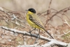 wagtail_black-headed_15015