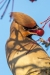 waxwing_a4a3797