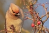 waxwing_a4a4037