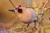 waxwing_a4a3958