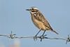 whinchat_16623
